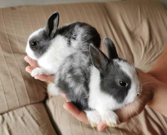 KIT completo coelhos anões minitoy e mini holandês desparasitados