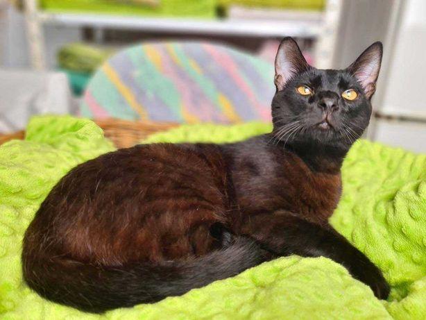 Котенок Карат, 8 мес, в добрые руки! Шоколадный кот, черный котик