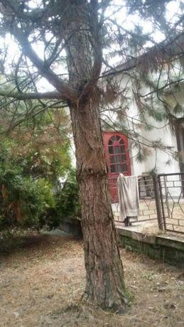 Drzewa modrzewie swierki do wyciecia