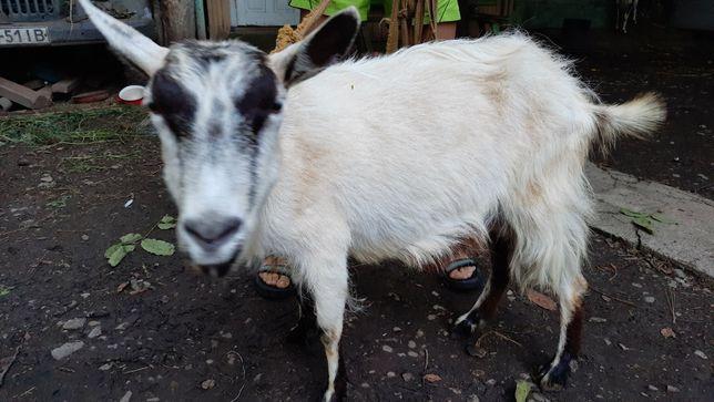 Продам не стару козу( на продажу дві кози-рогата і безрога)