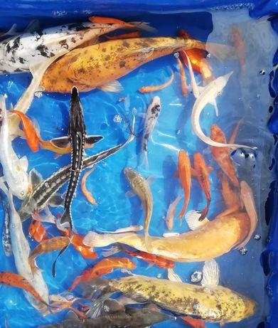 Ryby do oczek wodnych