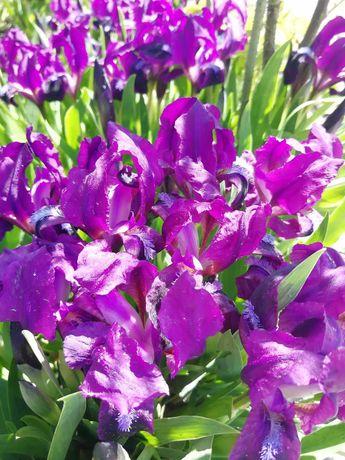 Ирисы карликовые фиолетовые