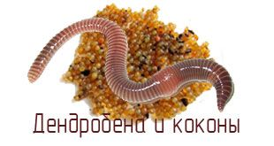 Коконы червя Дендробена Венета