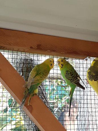 Para papug falistych zielonych zamienię