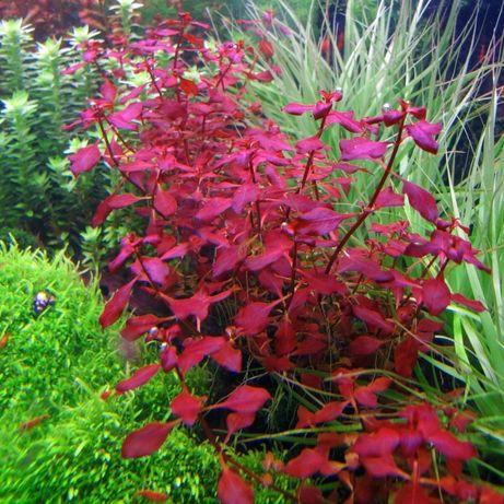 Ludwigia mini sp super red