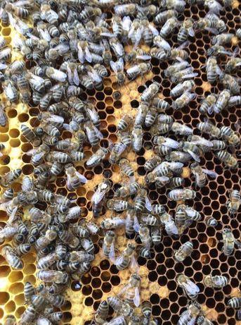 Популярная в 2021г. Пчеломатки Отправим. Сarnik