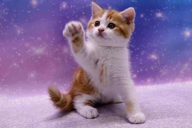 Шотландский очаровательный прямоухий котик в ярком окрасе