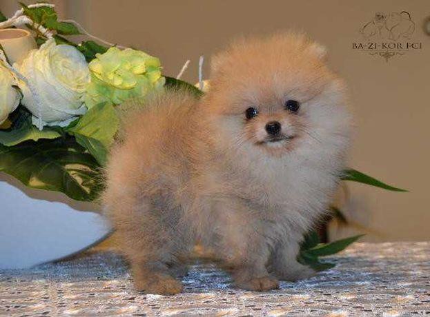 Pomeranian - szpic miniaturowy FCI