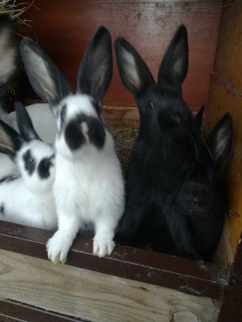 Sprzedam małe króliki  mieszańce