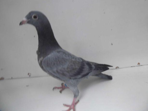 Gołębie pocztowe Gołąb Młodego 2021 r. Janssen -Flits   rodowodem