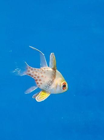 Sphaeramia nematoptera akwarystyka morska