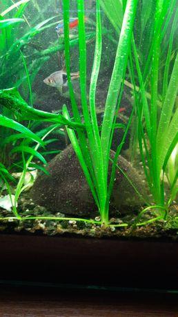 Nurzaniec olbrzymi, trawa na tył akwarium