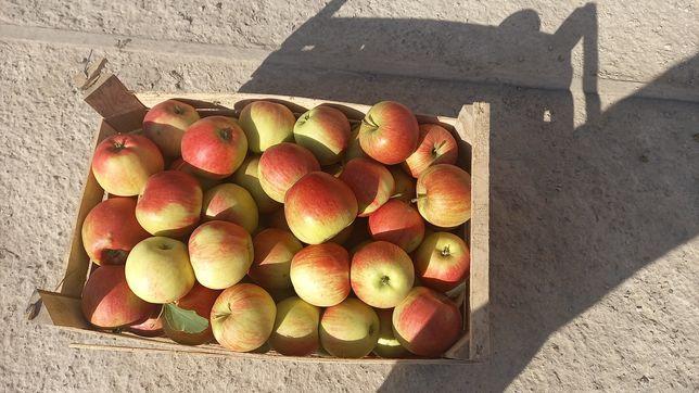 Продам яблуко чемпіон