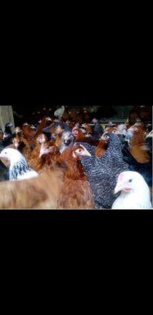 Młode kury, kurczaki, nioski, odchowane, możliwy dowóz, w różnym wieku