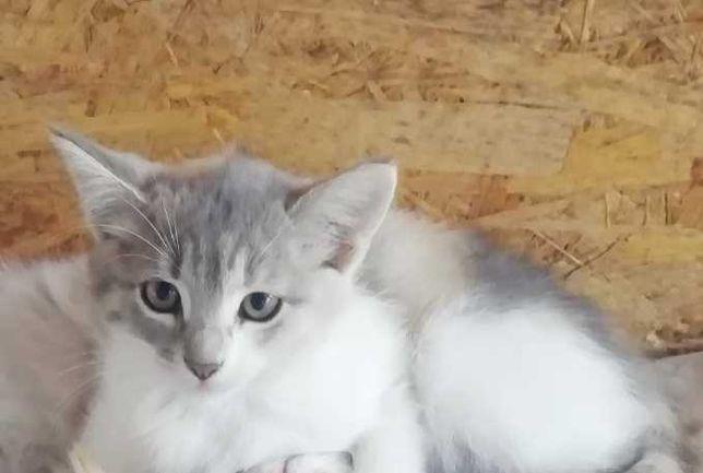 Котята_отдам котенка девочку  пастельный триколор  1,5 мес