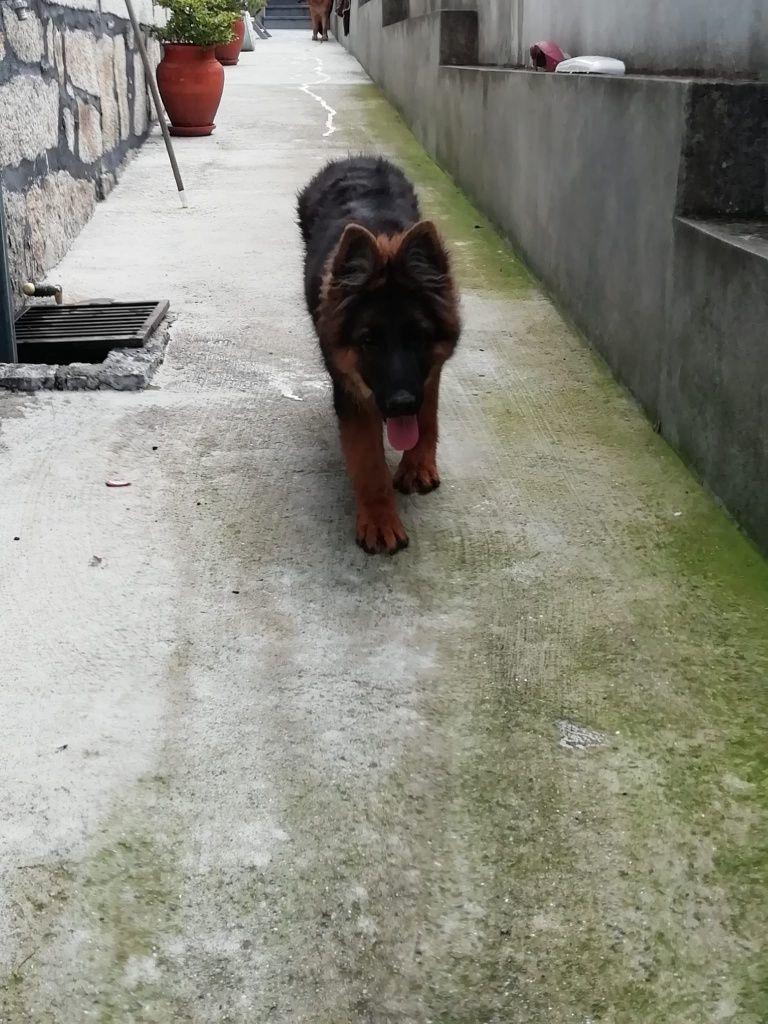 Cachorra de Pastor Alemão descendente de campeões