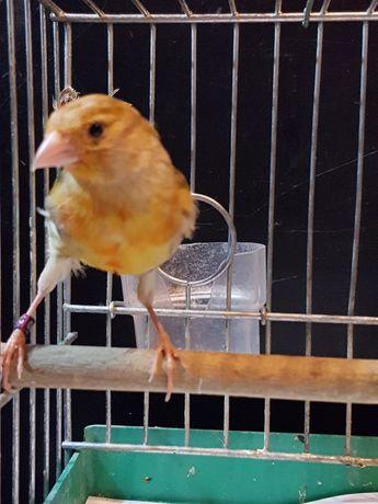 Kanarek Samiec Nr 15 Wysyłam ptaki kurierem
