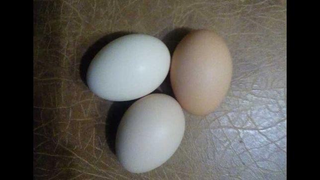 Яйця курячі інкубаційні. Брама Венгерка