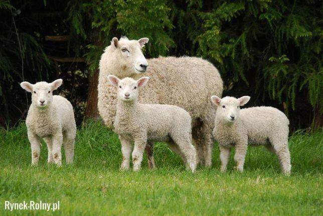 mleko dla koźlat jagniąt kozy owce barany wielbłądy lamy daniele