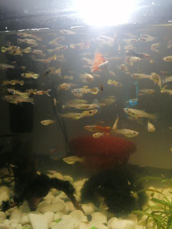 Gupiki rybki akwariowe