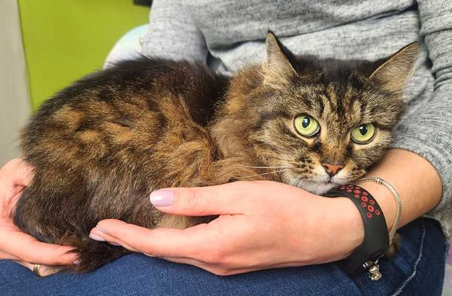 Пушистая кошечка Сирень | Сибирская кошка метис 1 Год котенок