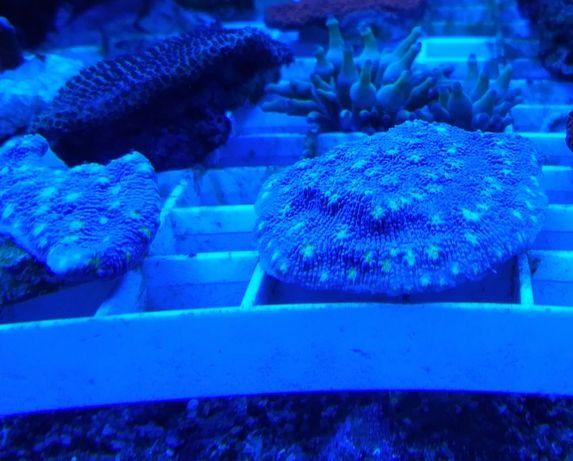 Echinopora lamellosa. Piekny koral. Szczepka 3x3