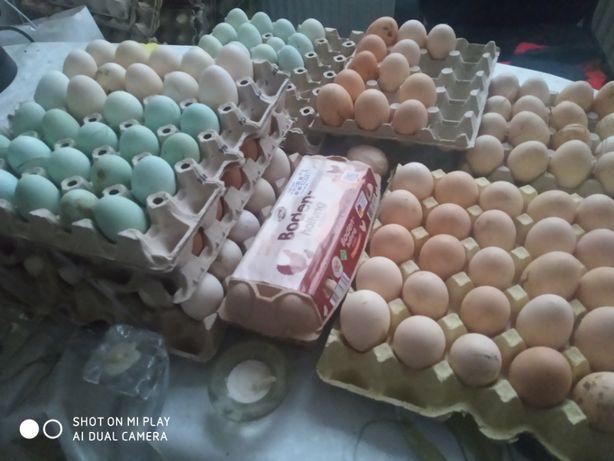 Jajka świeże - lęgowe