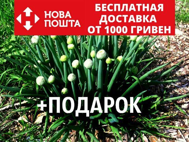 Лук-батун семена 20 шт (татарка, дудчатый, Allium fistulosum) насіння