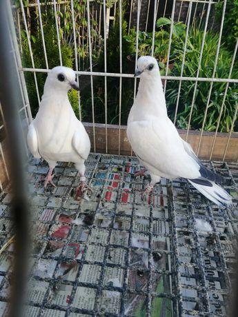 Gołębie rasowe ptaki