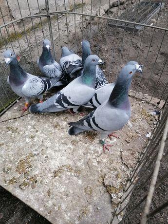 Wspaniałe gołębie Pocztowe, pilne
