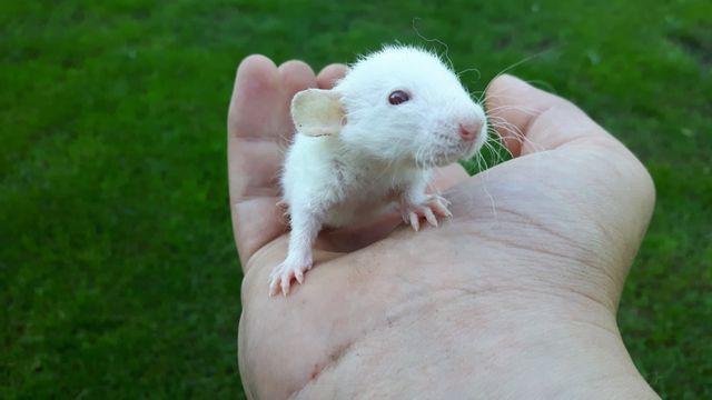 Szczury szczurki REX i DUMBO REX