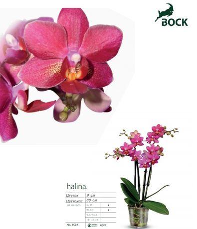 Орхидея Halina подросток