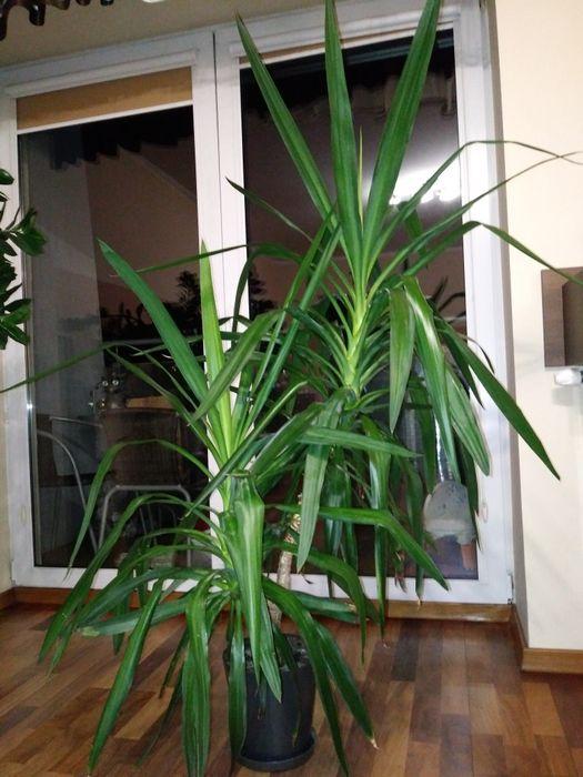 Kwiat Yuka hodowla prywatna Koszalin - image 1