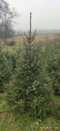 Ялинки (Picea OMORIKA)