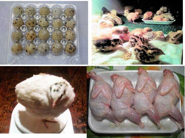 Перепілки, яйця інкубаційні. М'ясо свіже (тушка) перепела. Жива птиця.