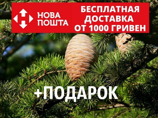 Кедр ливанский семена 20 шт (Cedrus libani) для саженцев насіння
