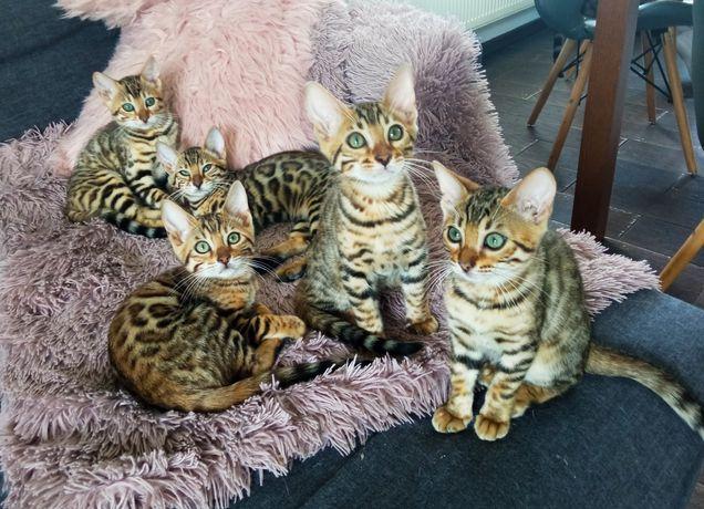 Kotki bengalskie, gotowe do zmiany domu