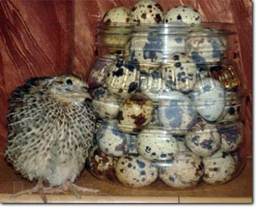 Инкубационные перепелиные яйца Эстонского перепела