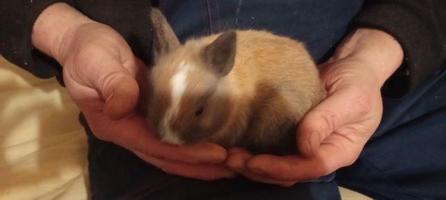 Мини сиамский крольченок