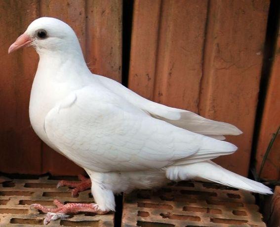Białe gołębie pocztowe! Młode po lotowanych!!