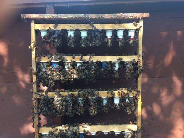 matki pszczele czerwiące CT 46 ,AGA3 , S ,Gemma ,Kortówka,