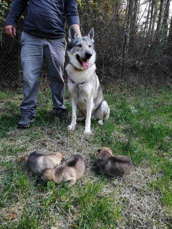 Чешский влчак , Чехословацкий волчак, Wolfdog.