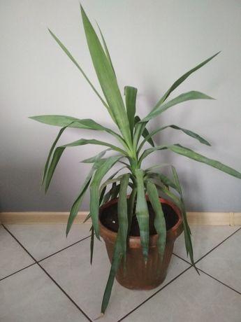 Juka młoda roślina