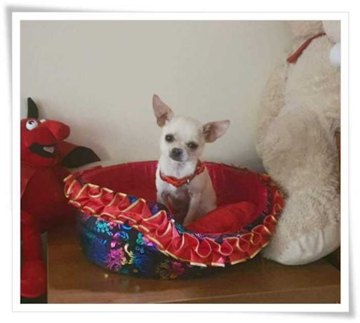 Chihuahua malutki kremowy piesek