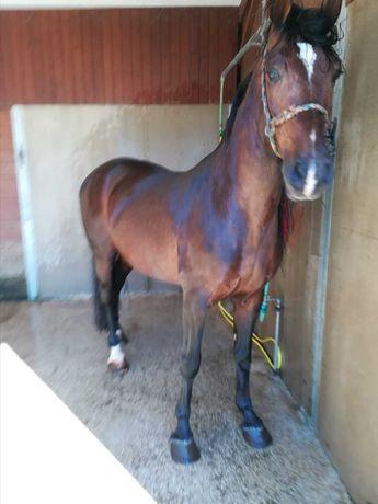 Lindo Cavalo castenho