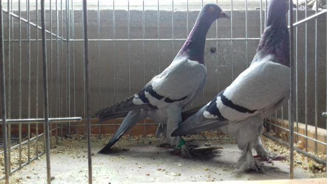 gołębie ozdobne bociany siwe łapciate