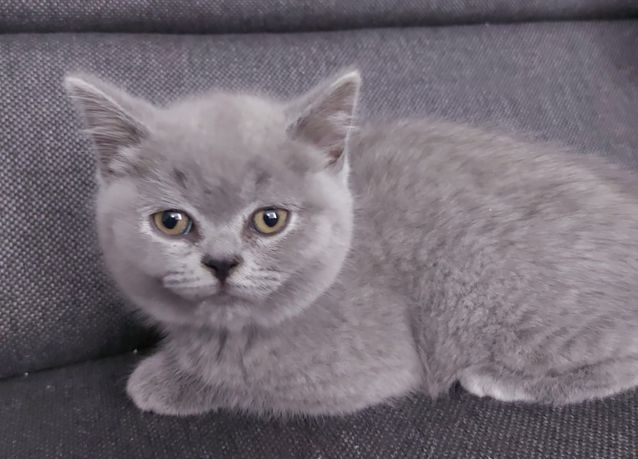 Kotki kocięta brytyjskie