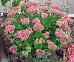 Продам садовые многолетние цветы