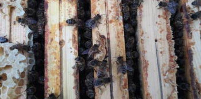 Rodziny pszczele na ramkach wielkopolskich lub warszawskich zwykłych