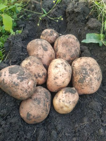 Продам картоплю у великому об'ємі з доставкою